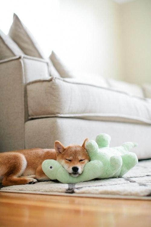 16 bé cún Shiba Inu ngái ngủ đáng yêu tới nỗi chẳng nỡ đánh thức 10