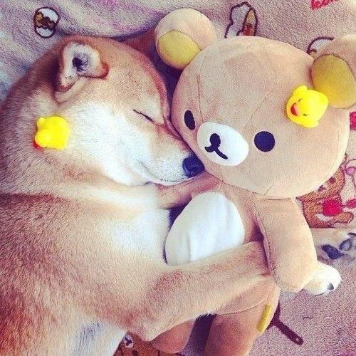 16 bé cún Shiba Inu ngái ngủ đáng yêu tới nỗi chẳng nỡ đánh thức 9