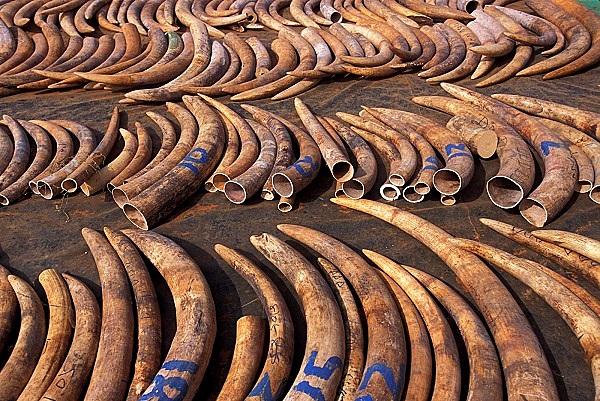"""Thực trạng săn bắt động vật quý hiếm """"gây kinh hãi"""" trên thế giới 12"""