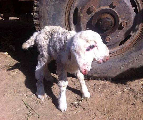Chú cừu non chào đời với dị tật hai đầu vẫn sống sót khỏe mạnh 1