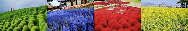 """Đẹp kinh ngạc vườn hoa """"tình yêu vĩnh cửu"""" ở Nhật Bản 11"""