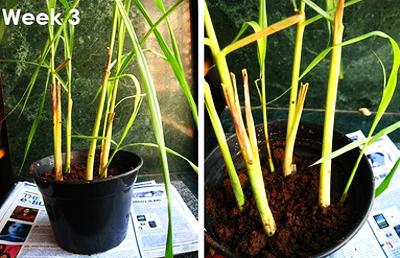 Chi tiết cách trồng cây sả: vừa làm cảnh, vừa đuổi muỗi 4