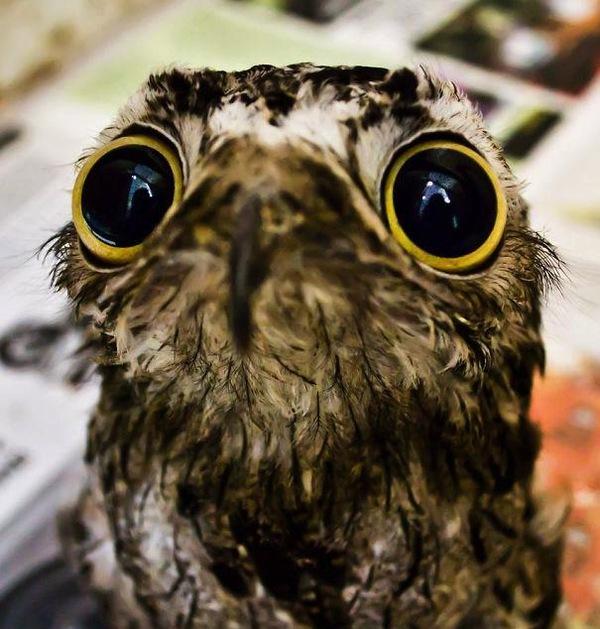 Chim Potoo: Loài chim... sợ hãi mọi lúc mọi nơi 1