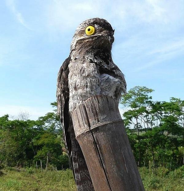 Chim Potoo: Loài chim... sợ hãi mọi lúc mọi nơi 9