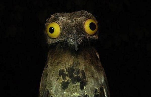 Chim Potoo: Loài chim... sợ hãi mọi lúc mọi nơi 10