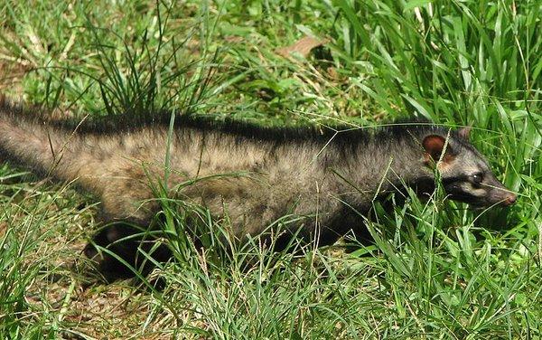 Những loài vật hoang dã tự tỏa mùi thơm giống hệt Hàm Hương 7