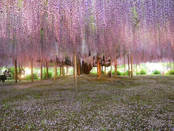 """Đẹp kinh ngạc vườn hoa """"tình yêu vĩnh cửu"""" ở Nhật Bản 1"""