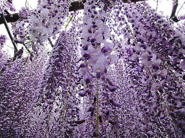 """Đẹp kinh ngạc vườn hoa """"tình yêu vĩnh cửu"""" ở Nhật Bản 2"""