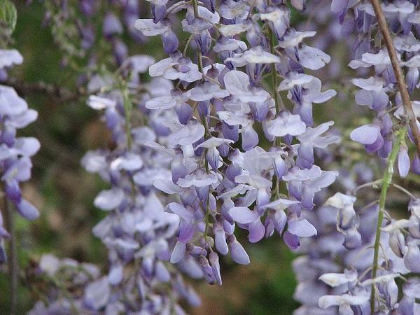 """Đẹp kinh ngạc vườn hoa """"tình yêu vĩnh cửu"""" ở Nhật Bản 7"""