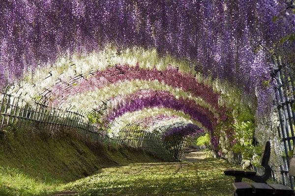 """Đẹp kinh ngạc vườn hoa """"tình yêu vĩnh cửu"""" ở Nhật Bản 3"""