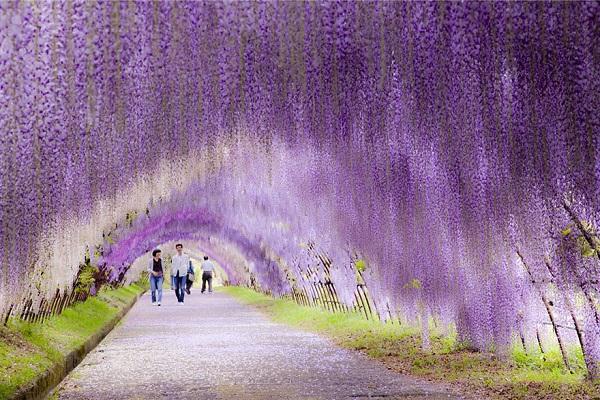 """Đẹp kinh ngạc vườn hoa """"tình yêu vĩnh cửu"""" ở Nhật Bản 4"""