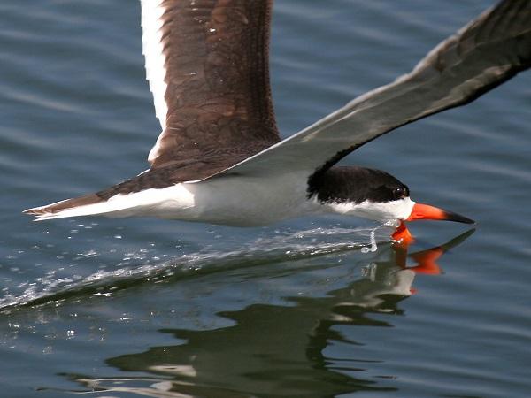 """Xem cách săn mồi """"bá đạo"""" của các loài chim 3"""