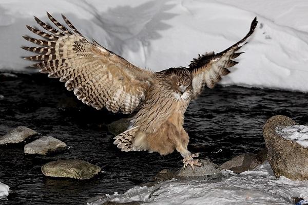 """Xem cách săn mồi """"bá đạo"""" của các loài chim 8"""