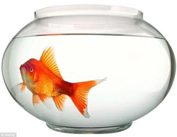 """Sự thật về """"não cá vàng"""" và lời giải cho trí nhớ 2"""
