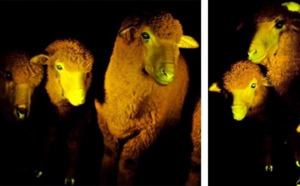 "Phát minh ""cool"" nhất 2013: Kem phát sáng, cừu đổi màu 2"