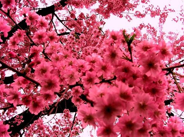 Ngắm các thiên đường hoa anh đào vòng quanh thế giới 2