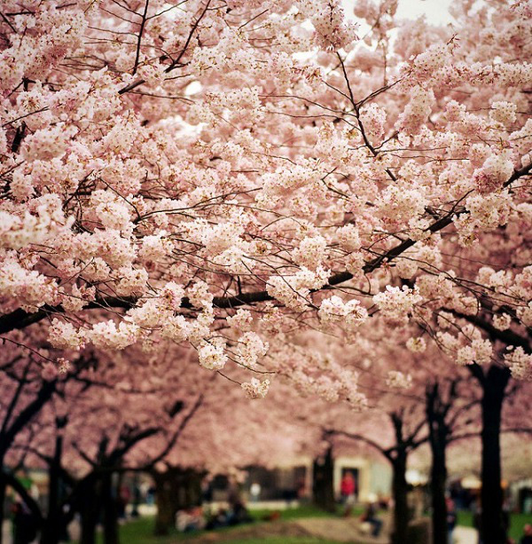 Ngắm các thiên đường hoa anh đào vòng quanh thế giới 1