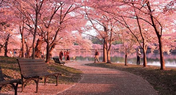 Ngắm các thiên đường hoa anh đào vòng quanh thế giới 15