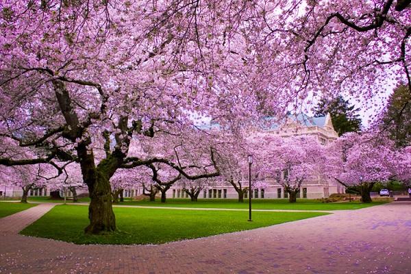 Ngắm các thiên đường hoa anh đào vòng quanh thế giới 6