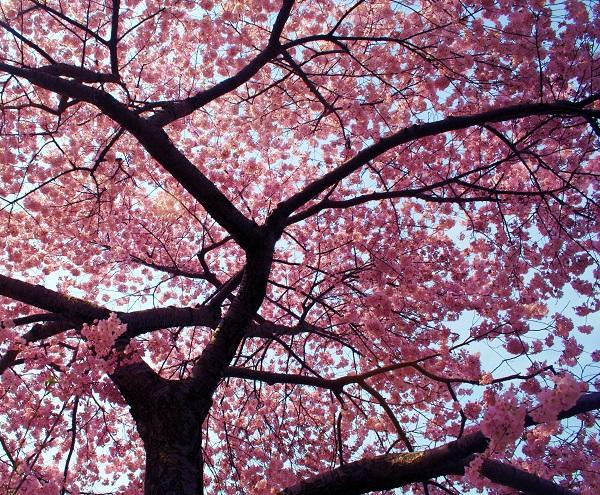 Ngắm các thiên đường hoa anh đào vòng quanh thế giới 7