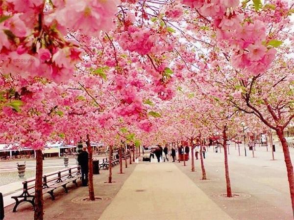Ngắm các thiên đường hoa anh đào vòng quanh thế giới 3
