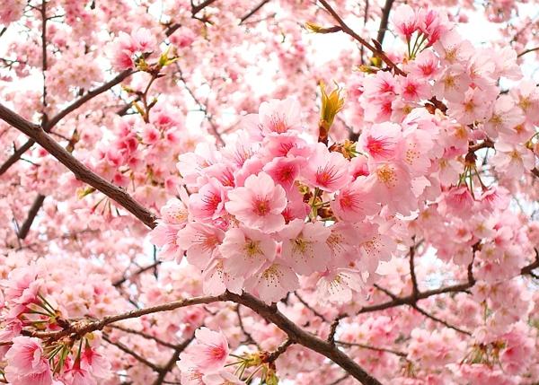 Ngắm các thiên đường hoa anh đào vòng quanh thế giới 4