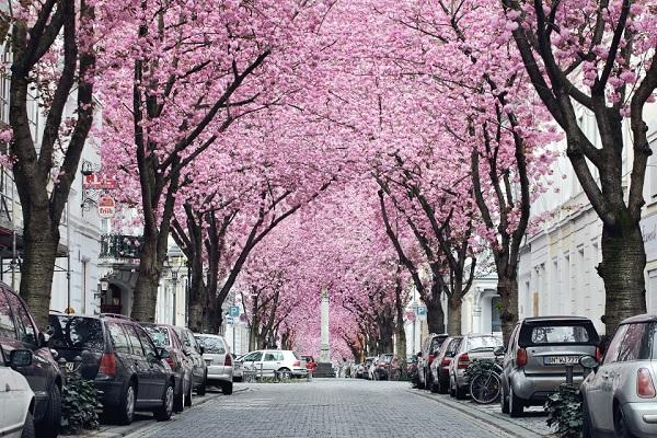 Ngắm các thiên đường hoa anh đào vòng quanh thế giới 10