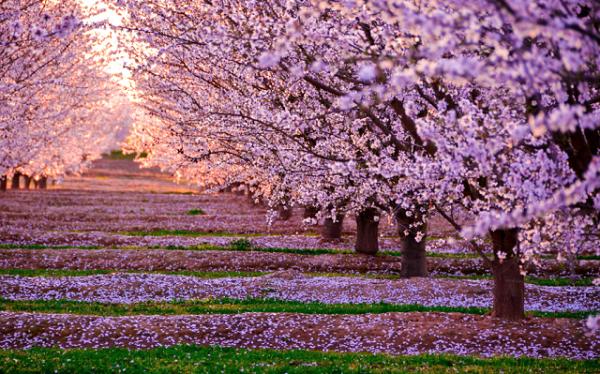 Ngắm các thiên đường hoa anh đào vòng quanh thế giới 11