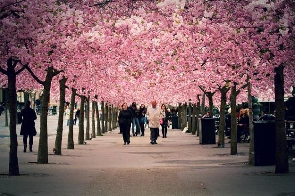Ngắm các thiên đường hoa anh đào vòng quanh thế giới 12