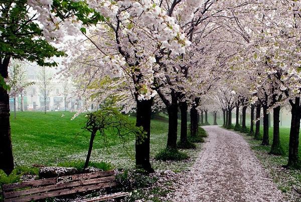 Ngắm các thiên đường hoa anh đào vòng quanh thế giới 13