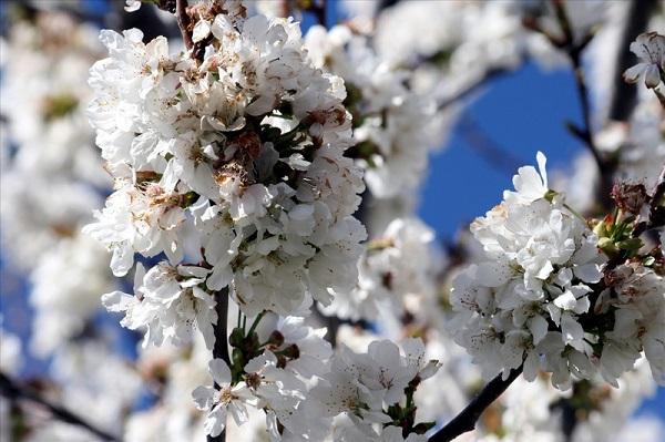Ngắm các thiên đường hoa anh đào vòng quanh thế giới 19