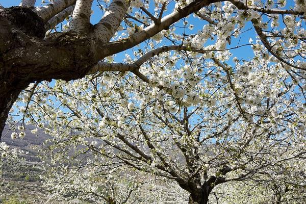 Ngắm các thiên đường hoa anh đào vòng quanh thế giới 20