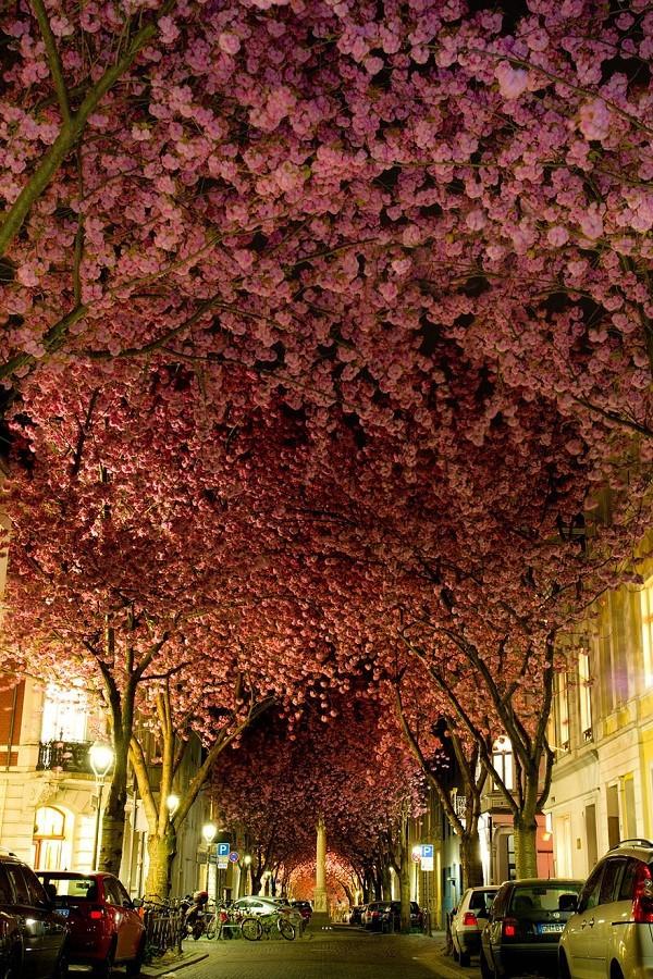Ngắm các thiên đường hoa anh đào vòng quanh thế giới 8
