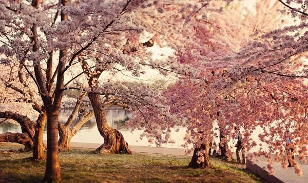 Ngắm các thiên đường hoa anh đào vòng quanh thế giới 16