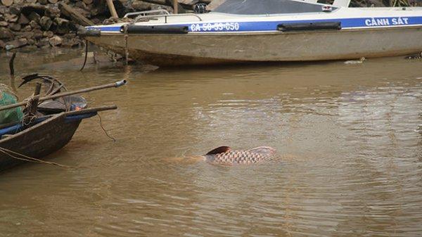 Ngư dân bắt được cá hô 128kg trên sông Đồng Nai 2