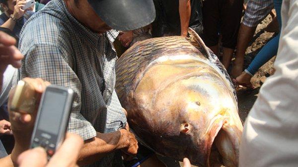 Ngư dân bắt được cá hô 128kg trên sông Đồng Nai 1