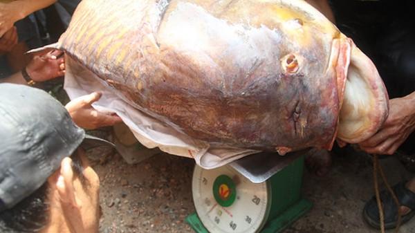 Ngư dân bắt được cá hô 128kg trên sông Đồng Nai 3