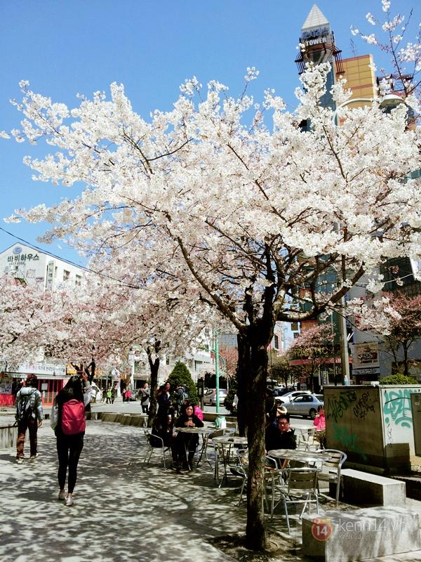 Chùm ảnh: Hoa anh đào phủ trắng các con đường tại Hàn Quốc 2