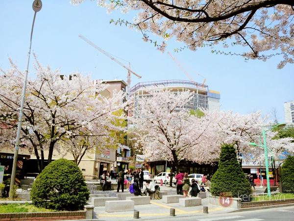 Chùm ảnh: Hoa anh đào phủ trắng các con đường tại Hàn Quốc 4