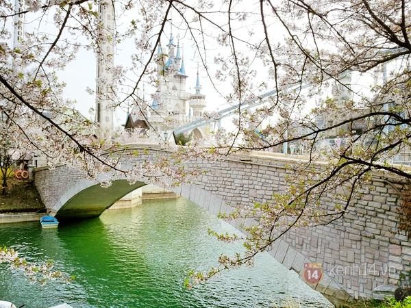 Chùm ảnh: Hoa anh đào phủ trắng các con đường tại Hàn Quốc 12