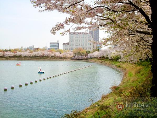 Chùm ảnh: Hoa anh đào phủ trắng các con đường tại Hàn Quốc 13