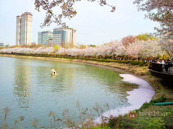 Chùm ảnh: Hoa anh đào phủ trắng các con đường tại Hàn Quốc 14