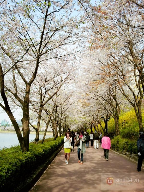 Chùm ảnh: Hoa anh đào phủ trắng các con đường tại Hàn Quốc 15
