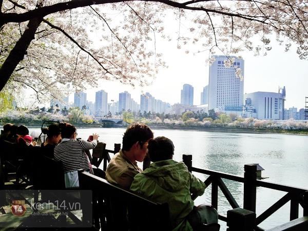 Chùm ảnh: Hoa anh đào phủ trắng các con đường tại Hàn Quốc 16