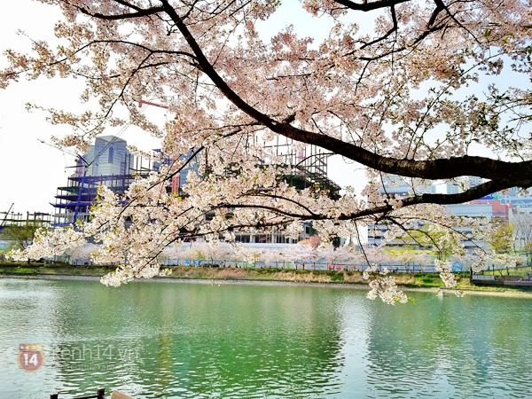 Chùm ảnh: Hoa anh đào phủ trắng các con đường tại Hàn Quốc 18