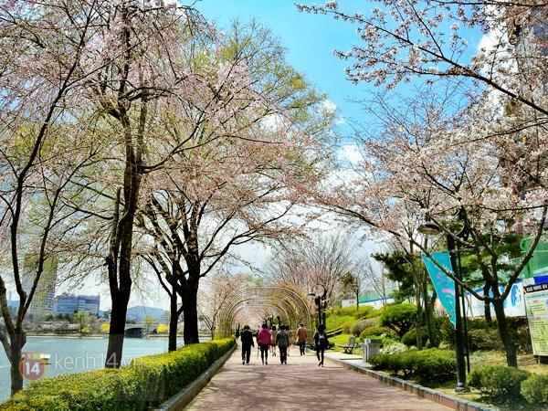Chùm ảnh: Hoa anh đào phủ trắng các con đường tại Hàn Quốc 21