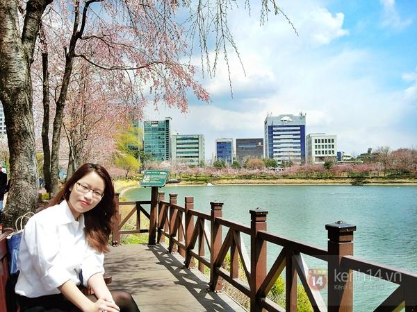 Chùm ảnh: Hoa anh đào phủ trắng các con đường tại Hàn Quốc 23