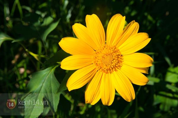 Ngỡ ngàng vẻ đẹp rực rỡ của mùa hoa dã quỳ Đà Lạt 2