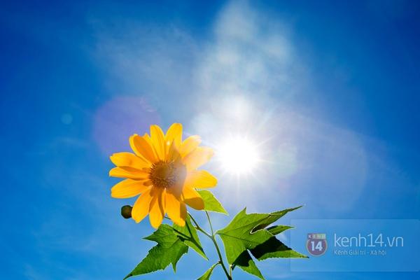 Ngỡ ngàng vẻ đẹp rực rỡ của mùa hoa dã quỳ Đà Lạt 5