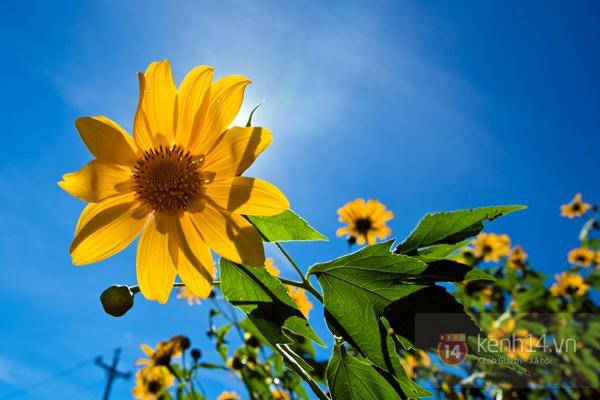 Ngỡ ngàng vẻ đẹp rực rỡ của mùa hoa dã quỳ Đà Lạt 6
